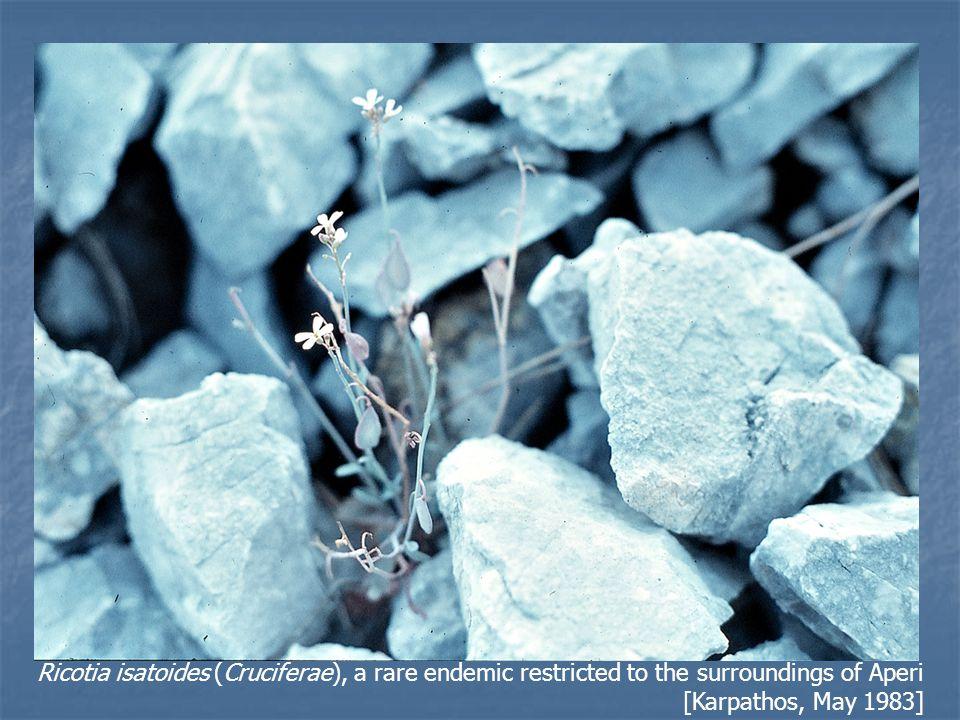 Laciniate bellfower (Campanula laciniata), an Aegean paleo-endemic, restricted to the islands of Folegandros, Astipalea, Kriti, and Karpathos [Karpathos, near Arkassa, June 1984]