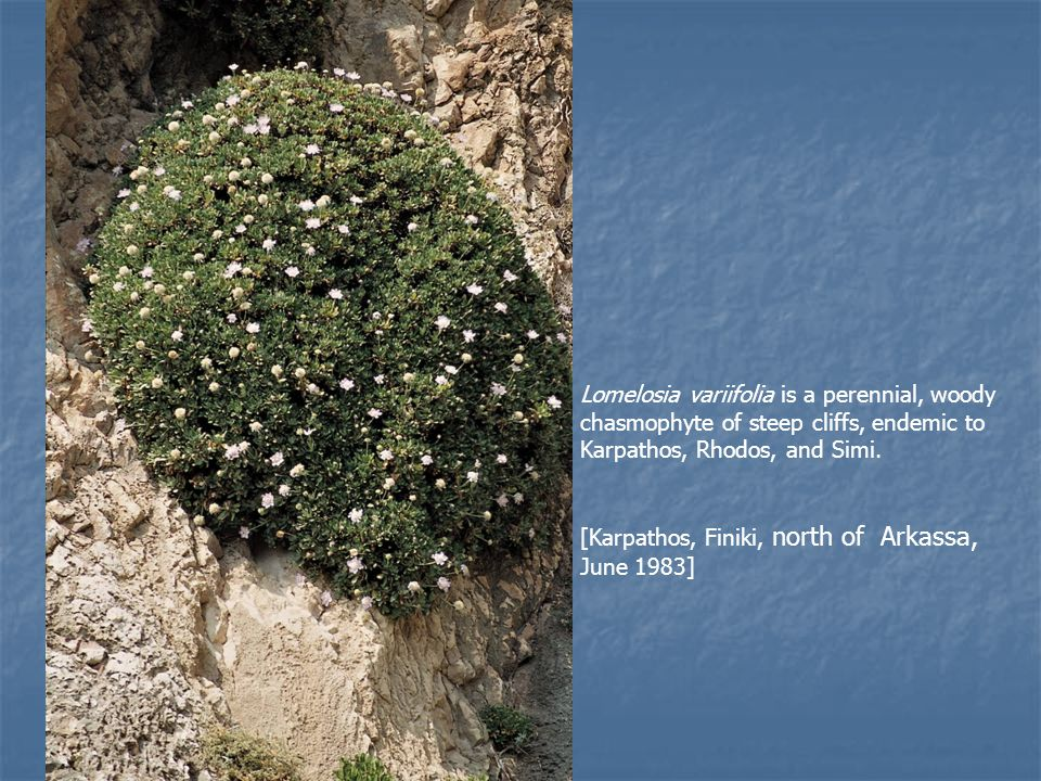 Lomelosia variifolia is a perennial, woody chasmophyte of steep cliffs, endemic to Karpathos, Rhodos, and Simi. [Karpathos, Finiki, north of Arkassa,