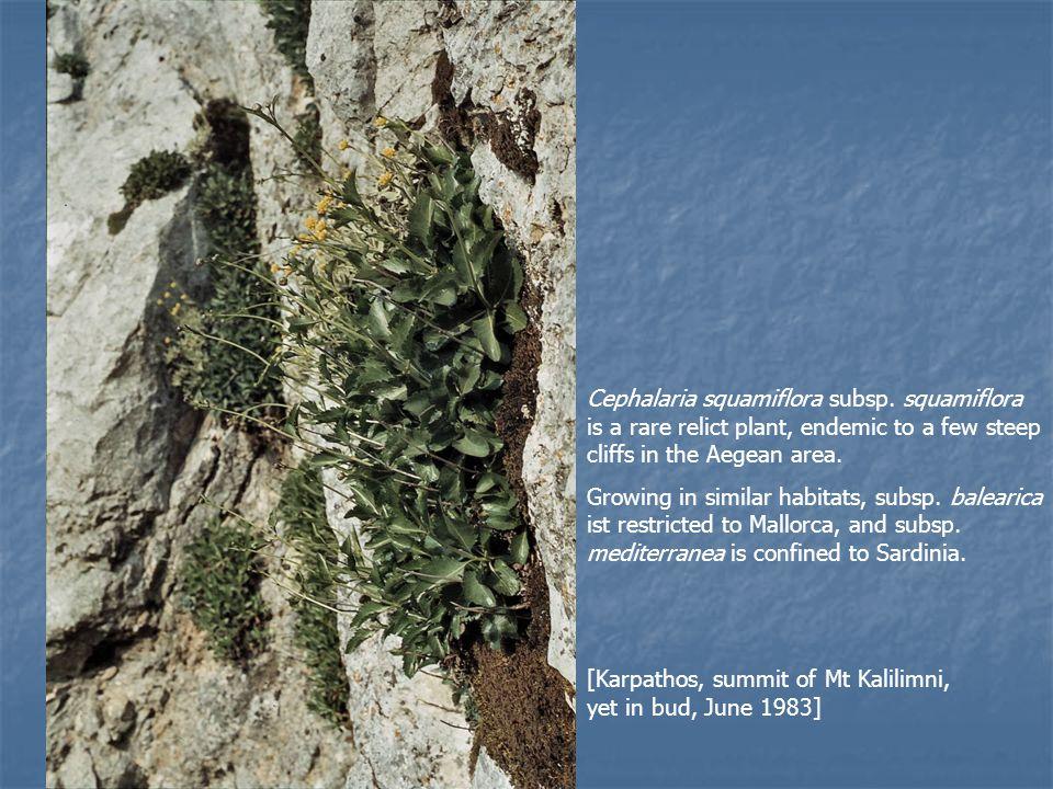 Perpendicular rock faces form the habitat of Cephalaria squamiflora subsp.