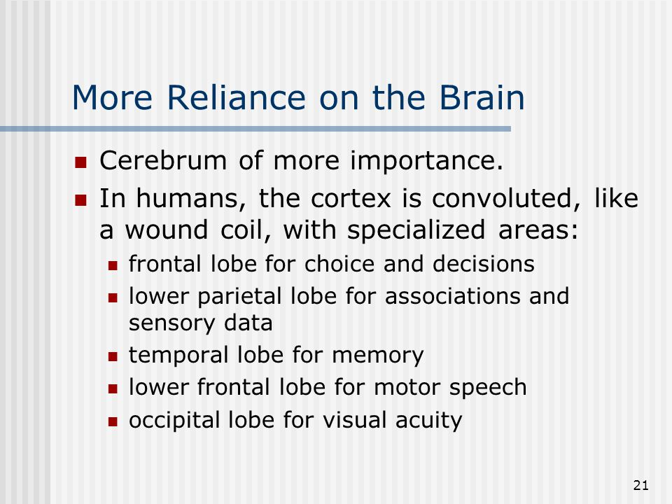 21 More Reliance on the Brain Cerebrum of more importance. In humans, the cortex is convoluted, like a wound coil, with specialized areas: frontal lob