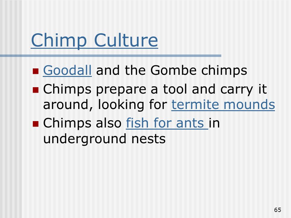 65 Chimp Culture Goodall and the Gombe chimps Goodall Chimps prepare a tool and carry it around, looking for termite moundstermite mounds Chimps also fish for ants in underground nestsfish for ants