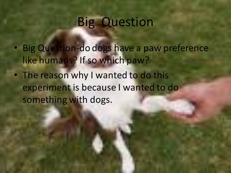 Big Question Big Question-do dogs have a paw preference like humans? If so which paw? The reason why I wanted to do this experiment is because I wante