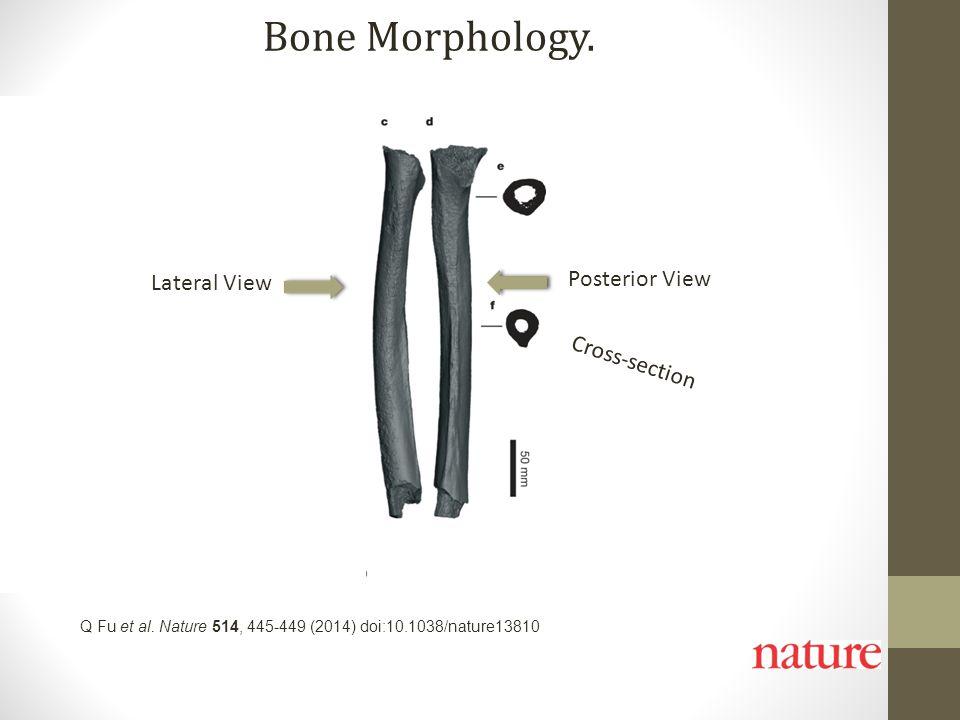 Q Fu et al. Nature 514, 445-449 (2014) doi:10.1038/nature13810 Bone Morphology. Lateral View Posterior View Cross-section