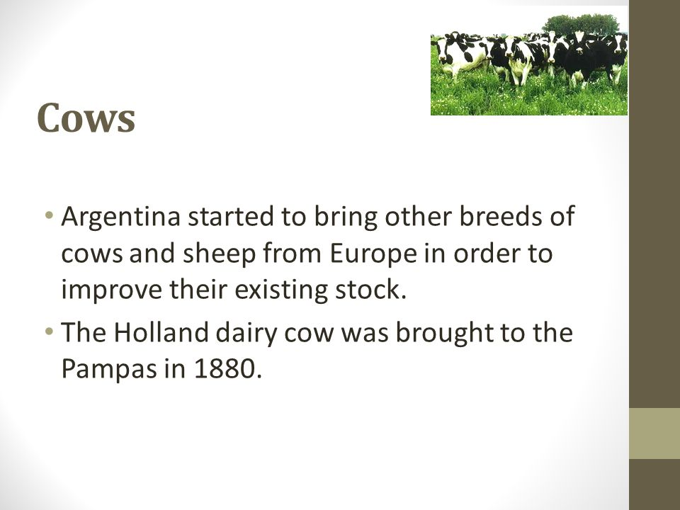Cows Argentina started to bring other breeds of cows and sheep from Europe in order to improve their existing stock. The Holland dairy cow was brought