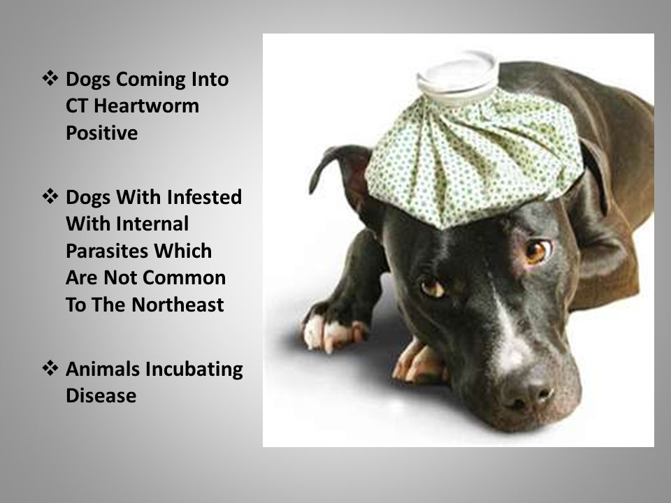  Dogs Coming Into CT Heartworm Positive  Dogs With Infested With Internal Parasites Which Are Not Common To The Northeast  Animals Incubating Disease