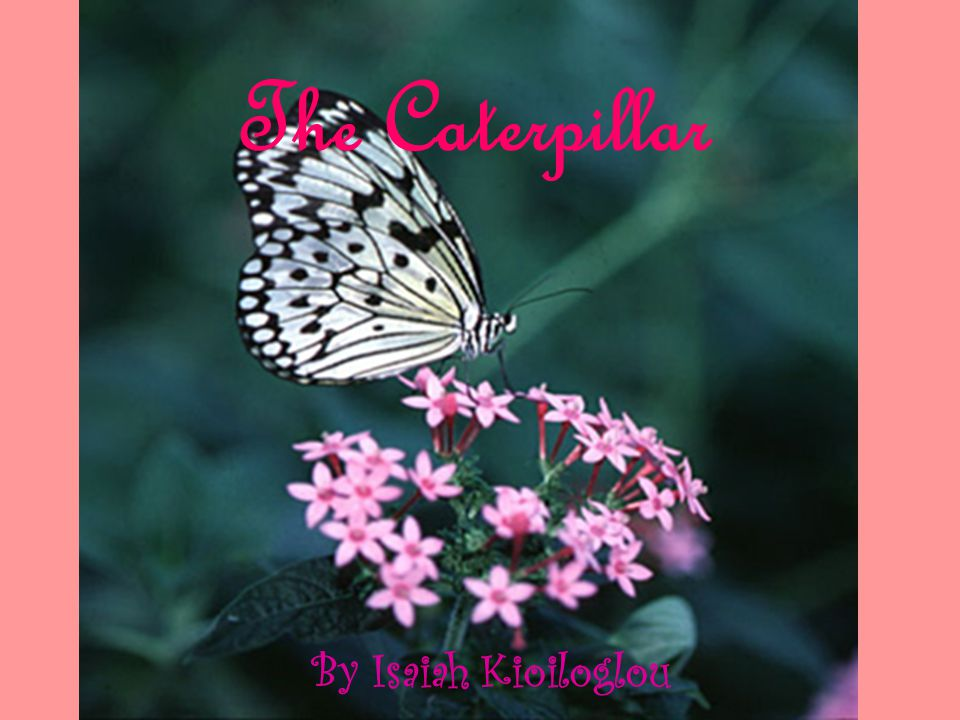 The Caterpillar By Isaiah Kioiloglou