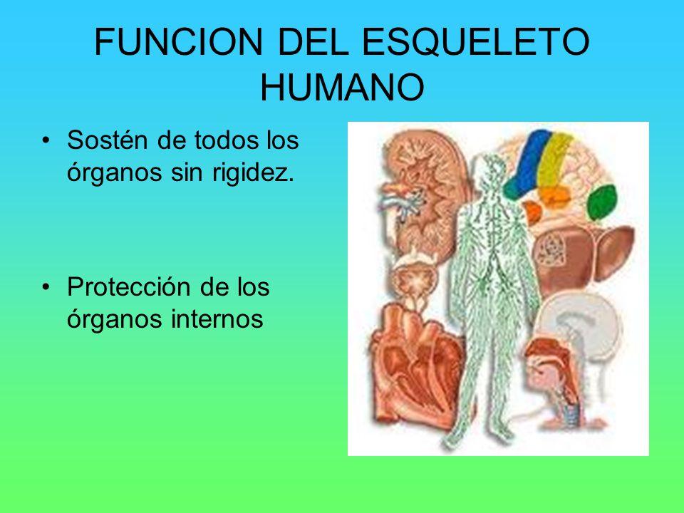 FUNCION DEL ESQUELETO HUMANO Sostén de todos los órganos sin rigidez. Protección de los órganos internos