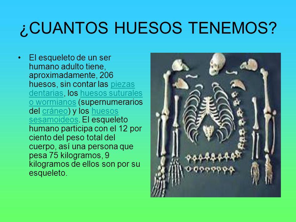 ¿CUANTOS HUESOS TENEMOS? El esqueleto de un ser humano adulto tiene, aproximadamente, 206 huesos, sin contar las piezas dentarias, los huesos suturale