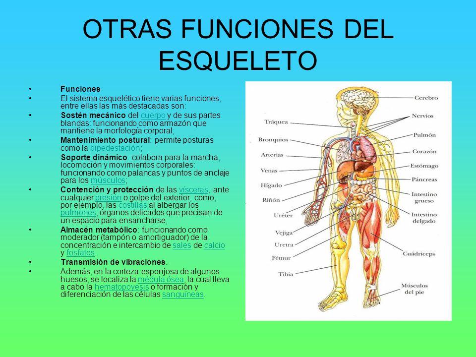OTRAS FUNCIONES DEL ESQUELETO Funciones El sistema esquelético tiene varias funciones, entre ellas las más destacadas son: Sostén mecánico del cuerpo