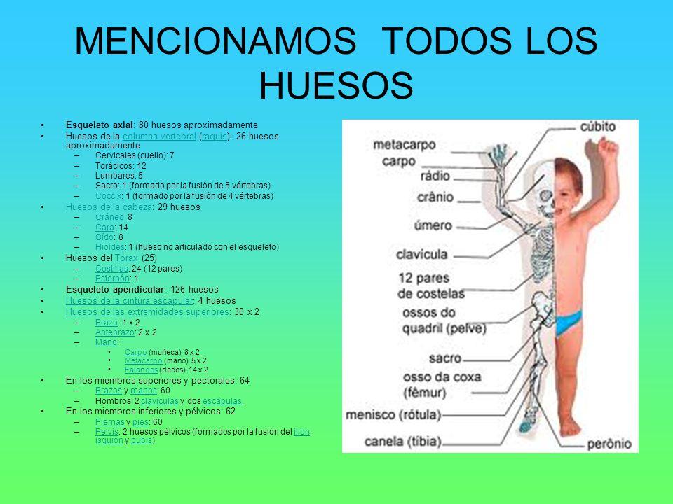 MENCIONAMOS TODOS LOS HUESOS Esqueleto axial: 80 huesos aproximadamente Huesos de la columna vertebral (raquis): 26 huesos aproximadamentecolumna vert