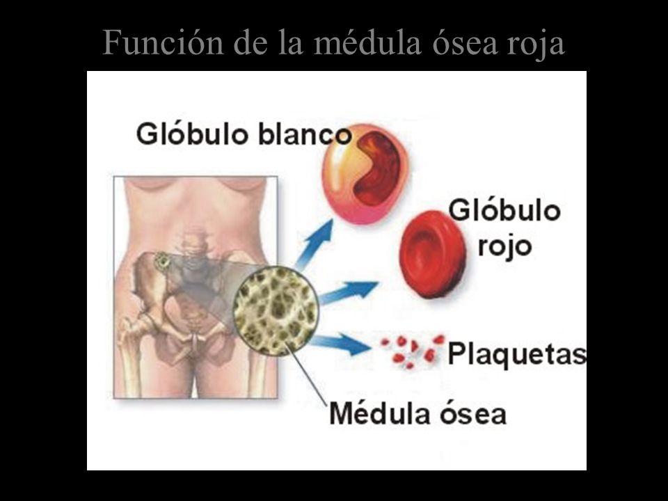 Función de la médula ósea roja