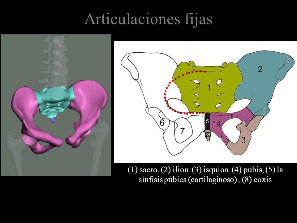 Articulaciones fijas (1) sacro, (2) ilion, (3) isquion, (4) pubis, (5) la sínfisis púbica (cartilaginoso), (8) coxis