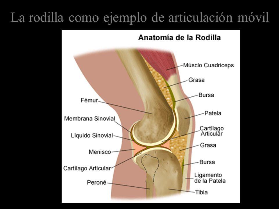 La rodilla como ejemplo de articulación móvil