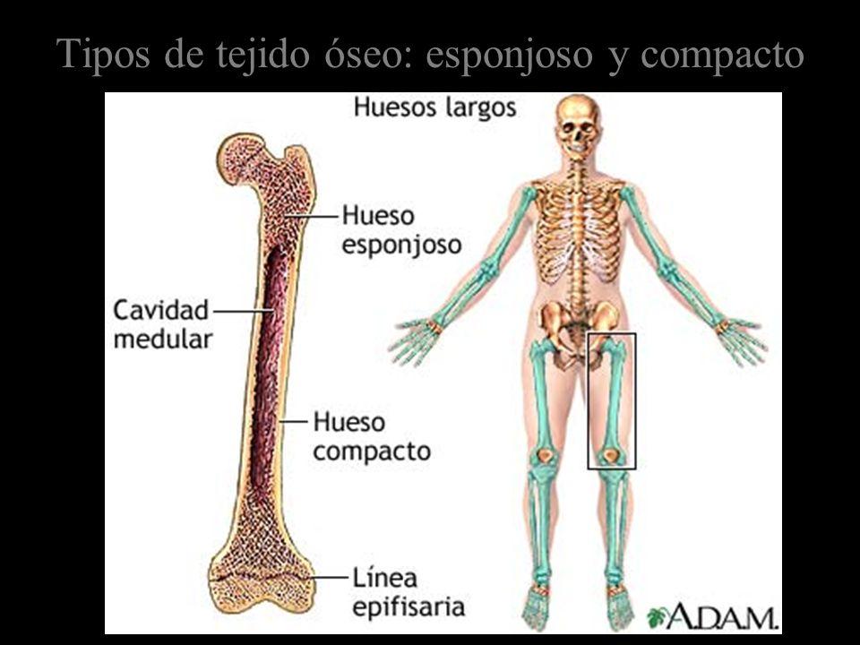 Tipos de tejido óseo: esponjoso y compacto