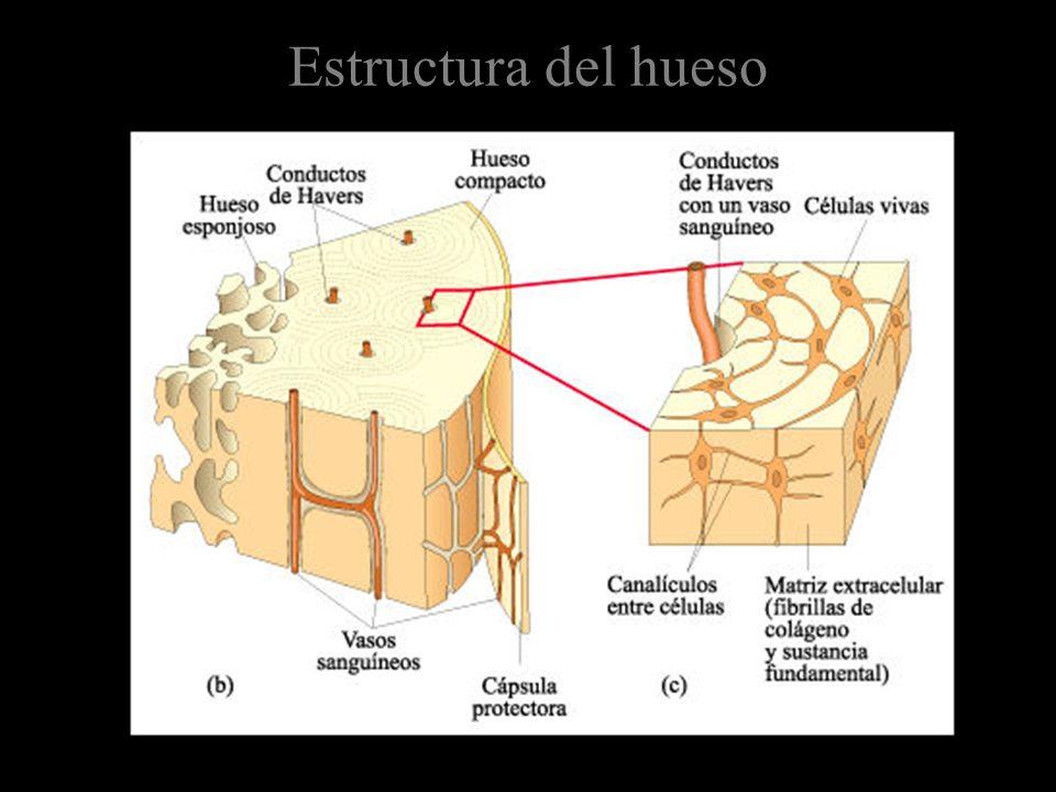 Estructura del hueso