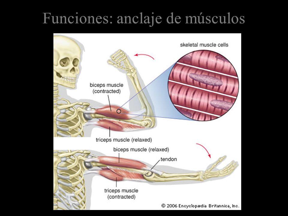 Funciones: anclaje de músculos