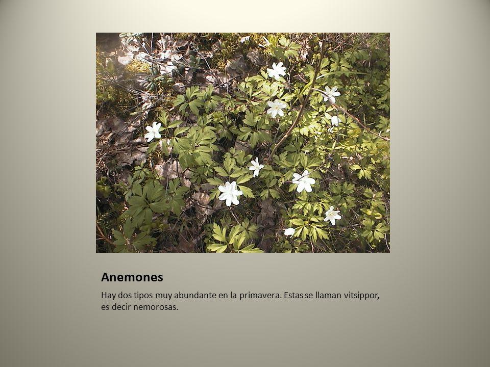 Anemones Hay dos tipos muy abundante en la primavera.
