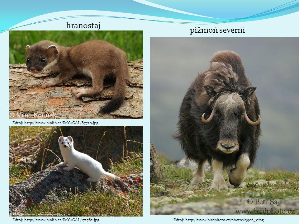 pižmoň severní Zdroj: http://www.biolib.cz/IMG/GAL/172782.jpg hranostaj Zdroj: http://www.birdphoto.cz/photos/3906_v.jpg Zdroj: http://www.biolib.cz/IMG/GAL/87729.jpg