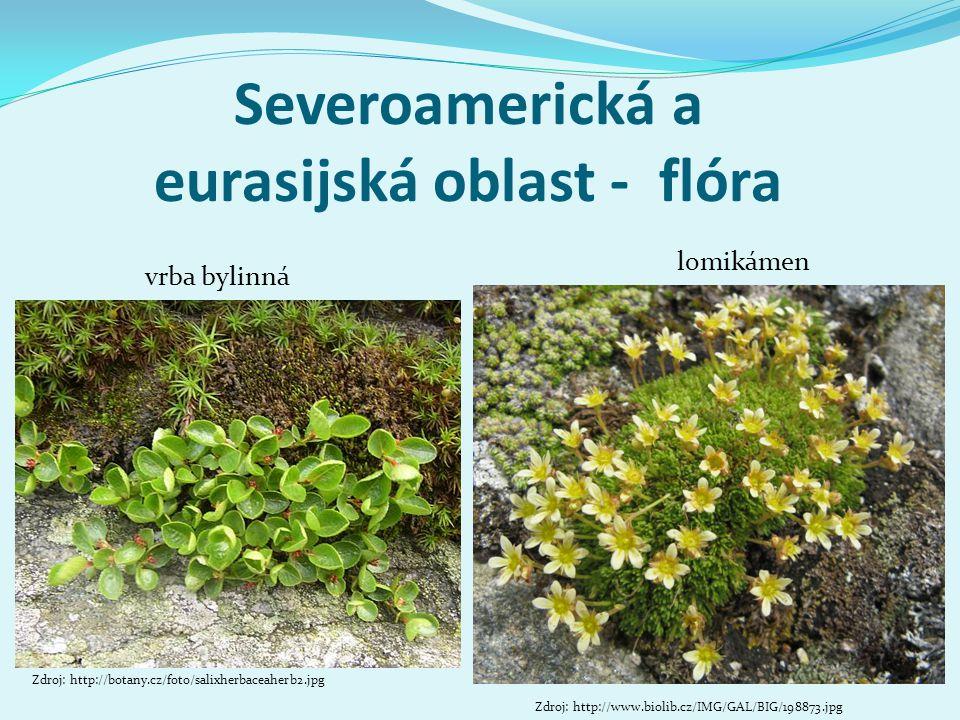 Severoamerická a eurasijská oblast - flóra Zdroj: http://botany.cz/foto/salixherbaceaherb2.jpg vrba bylinná lomikámen Zdroj: http://www.biolib.cz/IMG/GAL/BIG/198873.jpg