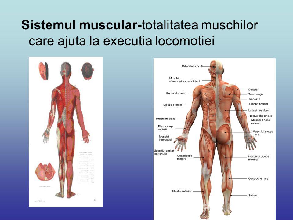 Principalele grupe de muschi: Muschii capului: Muschii mimicii (cutanati), frontali si occipitali; Muschii din jurul orificiilor nazale si bucale, constrictori si dilatatori; Muschii masticatori.