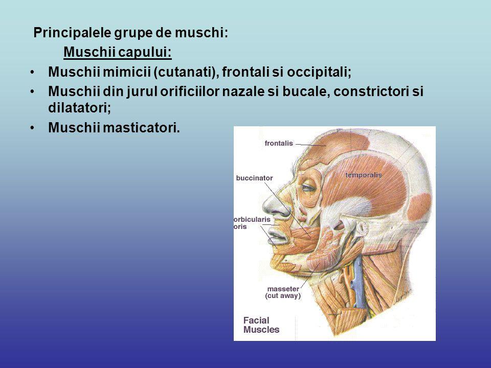 Principalele grupe de muschi: Muschii capului: Muschii mimicii (cutanati), frontali si occipitali; Muschii din jurul orificiilor nazale si bucale, con