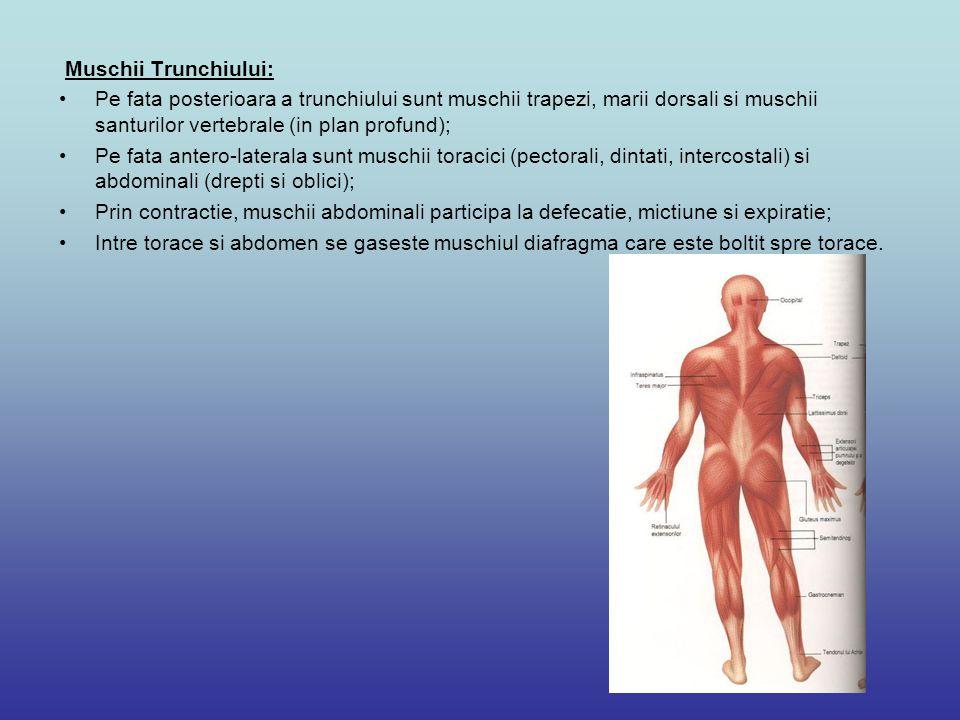 Muschii Trunchiului: Pe fata posterioara a trunchiului sunt muschii trapezi, marii dorsali si muschii santurilor vertebrale (in plan profund); Pe fata antero-laterala sunt muschii toracici (pectorali, dintati, intercostali) si abdominali (drepti si oblici); Prin contractie, muschii abdominali participa la defecatie, mictiune si expiratie; Intre torace si abdomen se gaseste muschiul diafragma care este boltit spre torace.