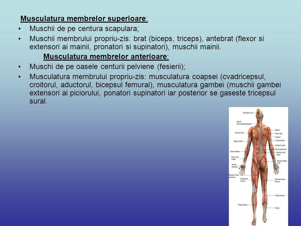 Musculatura membrelor superioare: Muschii de pe centura scapulara; Muschii membrului propriu-zis: brat (biceps, triceps), antebrat (flexor si extensor
