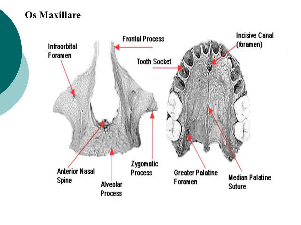 Os Maxillare