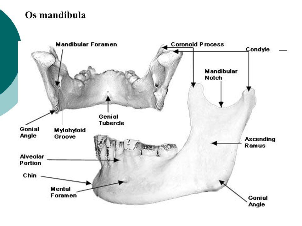 Os mandibula