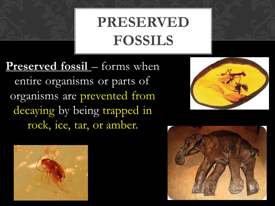 Preserved fossil – forms when entire organisms or parts of organisms are prevented from decaying by being trapped in rock, ice, tar, or amber.