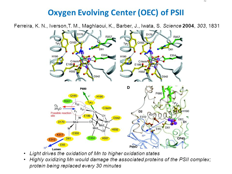 Oxygen Evolving Center (OEC) of PSII Ferreira, K. N., Iverson,T.