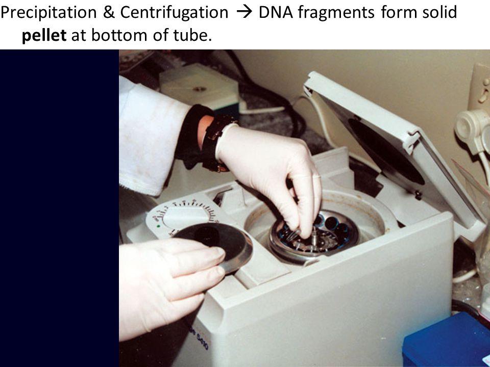 Precipitation & Centrifugation  DNA fragments form solid pellet at bottom of tube.