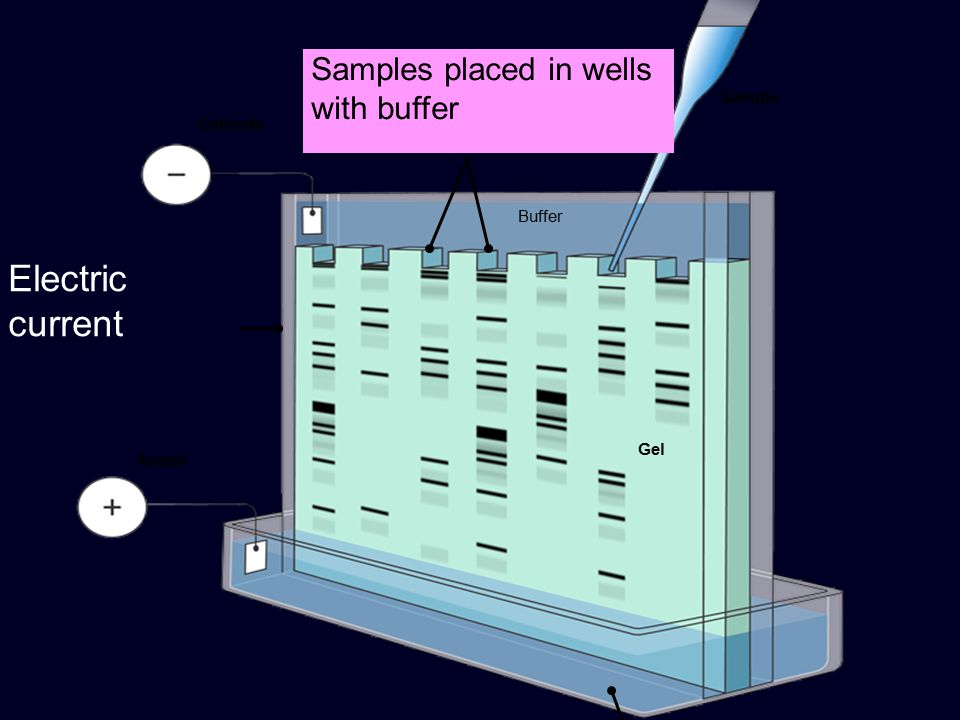 Buffer solution Cathode Anode Gel Electric current Buffer Sample Samples placed in wells with buffer
