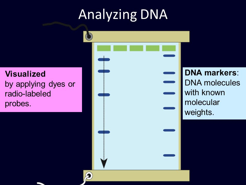Visualized by applying dyes or radio-labeled probes. Analyzing DNA DNA markers: DNA molecules with known molecular weights.