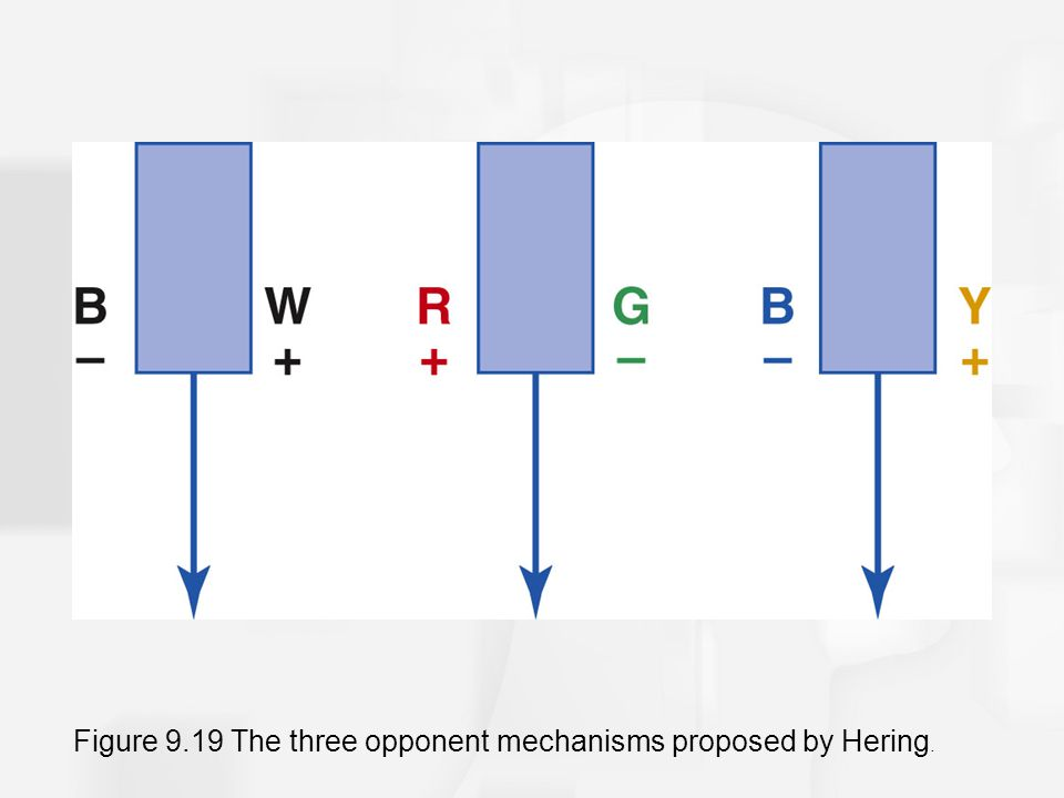Figure 9.19 The three opponent mechanisms proposed by Hering.