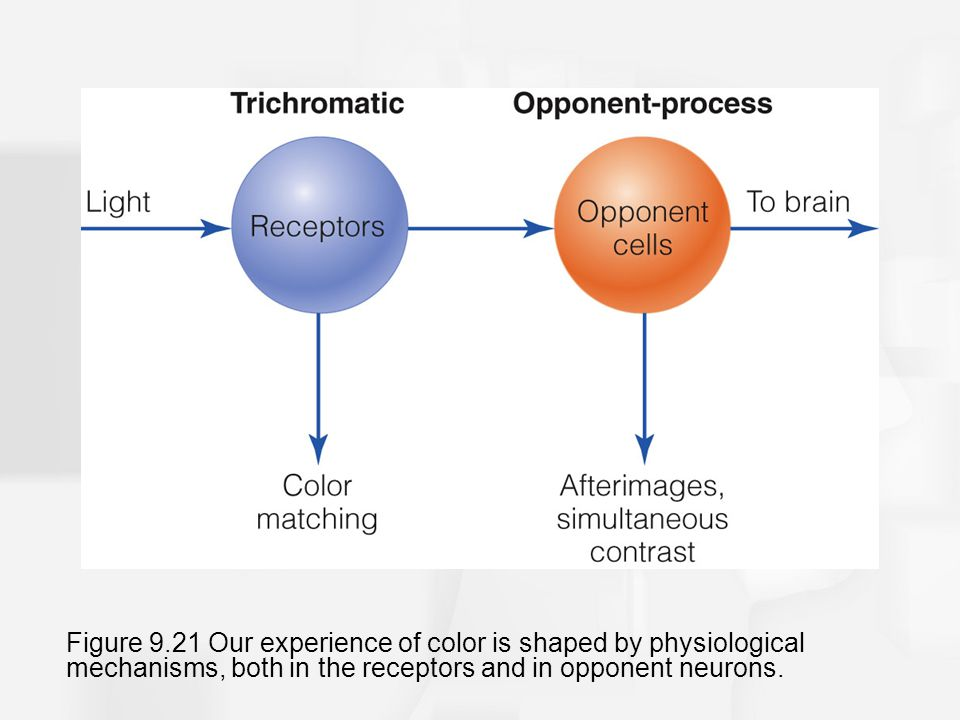Figure 9.21 Our experience of color is shaped by physiological mechanisms, both in the receptors and in opponent neurons.