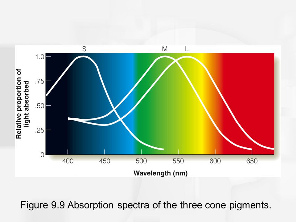 Figure 9.9 Absorption spectra of the three cone pigments.