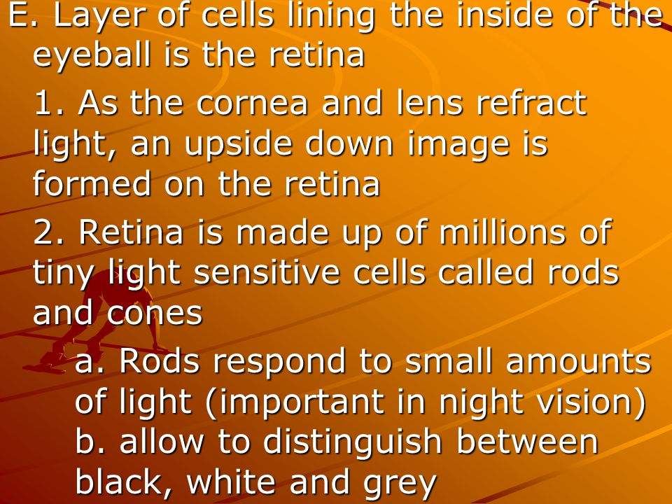 E. Layer of cells lining the inside of the eyeball is the retina 1. As the cornea and lens refract light, an upside down image is formed on the retina