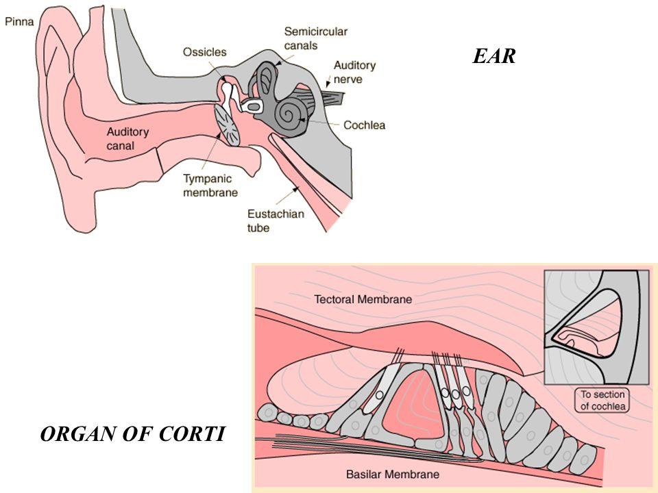 ORGAN OF CORTI EAR