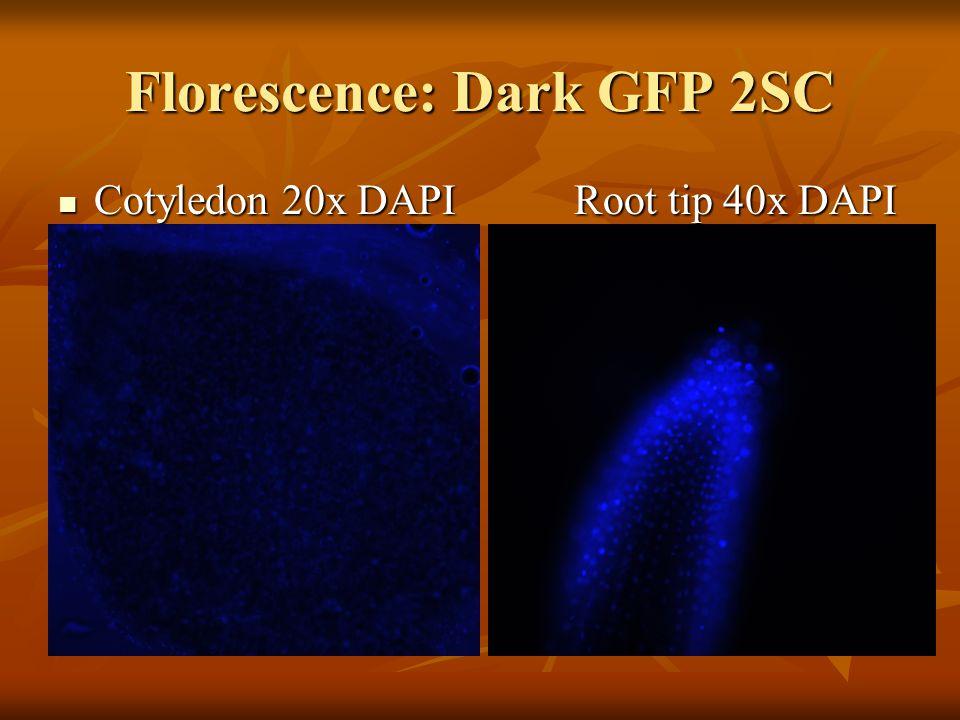 Florescence: Dark GFP 2SC Cotyledon 20x DAPI Root tip 40x DAPI Cotyledon 20x DAPI Root tip 40x DAPI