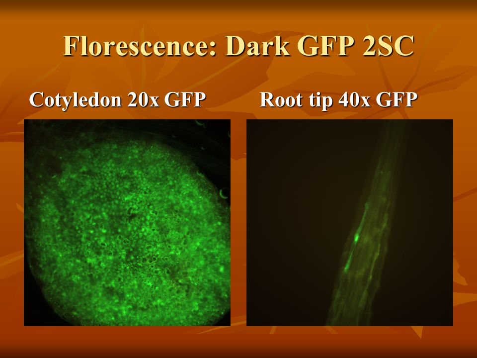 Florescence: Dark GFP 2SC Cotyledon 20x GFP Root tip 40x GFP
