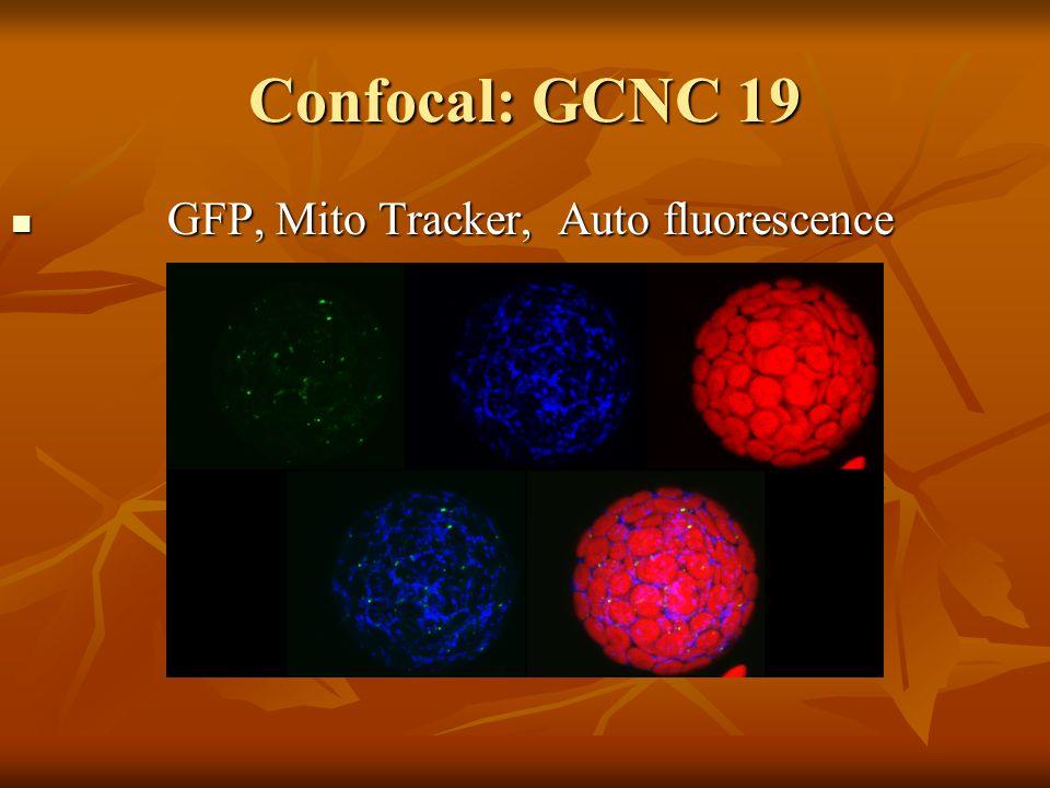 Confocal: GCNC 19 GFP, Mito Tracker, Auto fluorescence GFP, Mito Tracker, Auto fluorescence