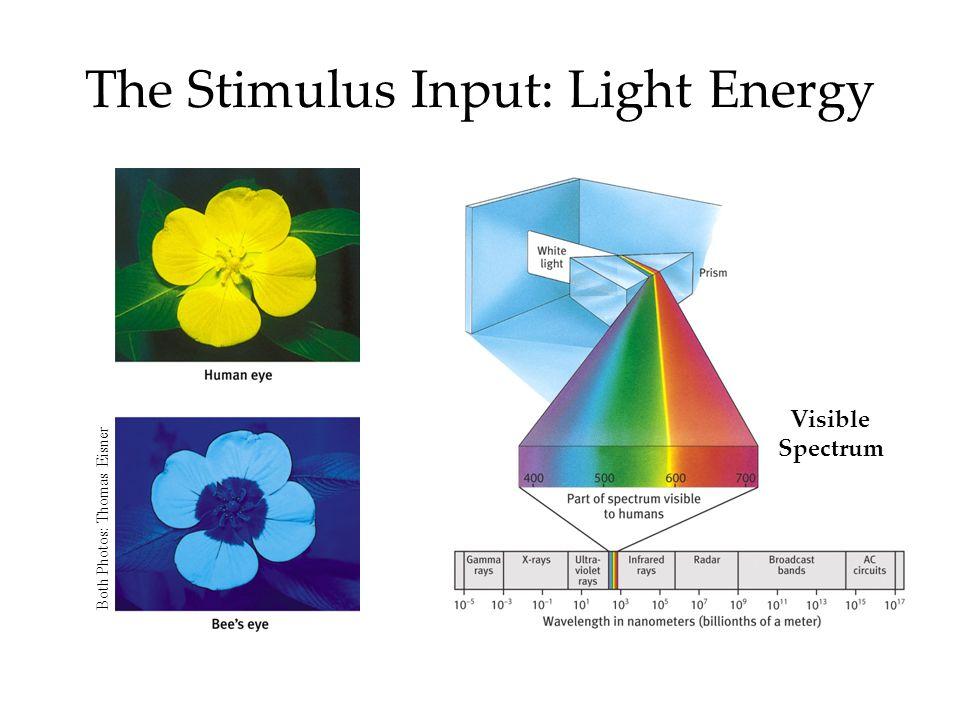 Visible Spectrum The Stimulus Input: Light Energy Both Photos: Thomas Eisner