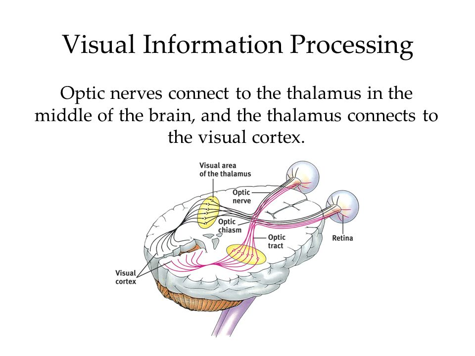 Visual Information Processing Optic nerves connect to the thalamus in the middle of the brain, and the thalamus connects to the visual cortex.