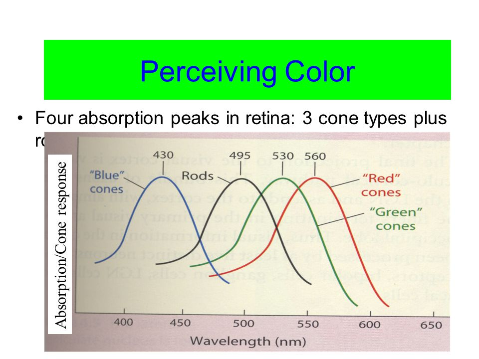 Color Vision Perceiving Color Four absorption peaks in retina: 3 cone types plus rods Absorption/Cone response