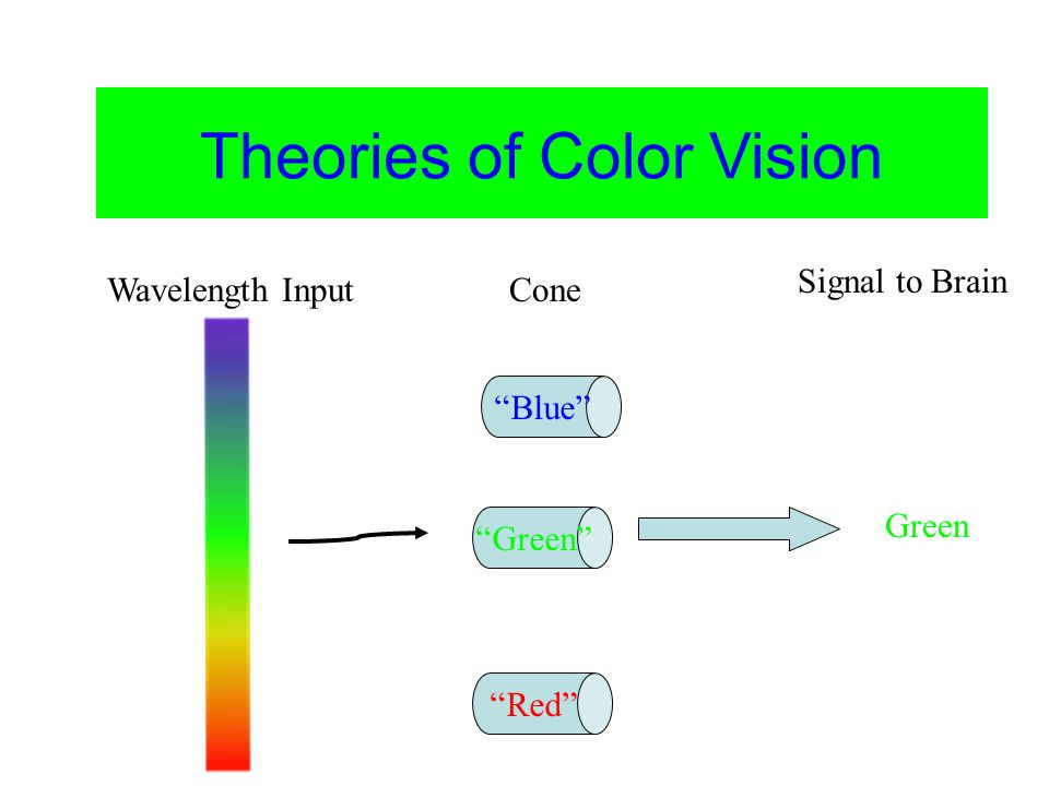 Color Vision Theories of Color Vision Blue Green Red Green Wavelength InputCone Signal to Brain