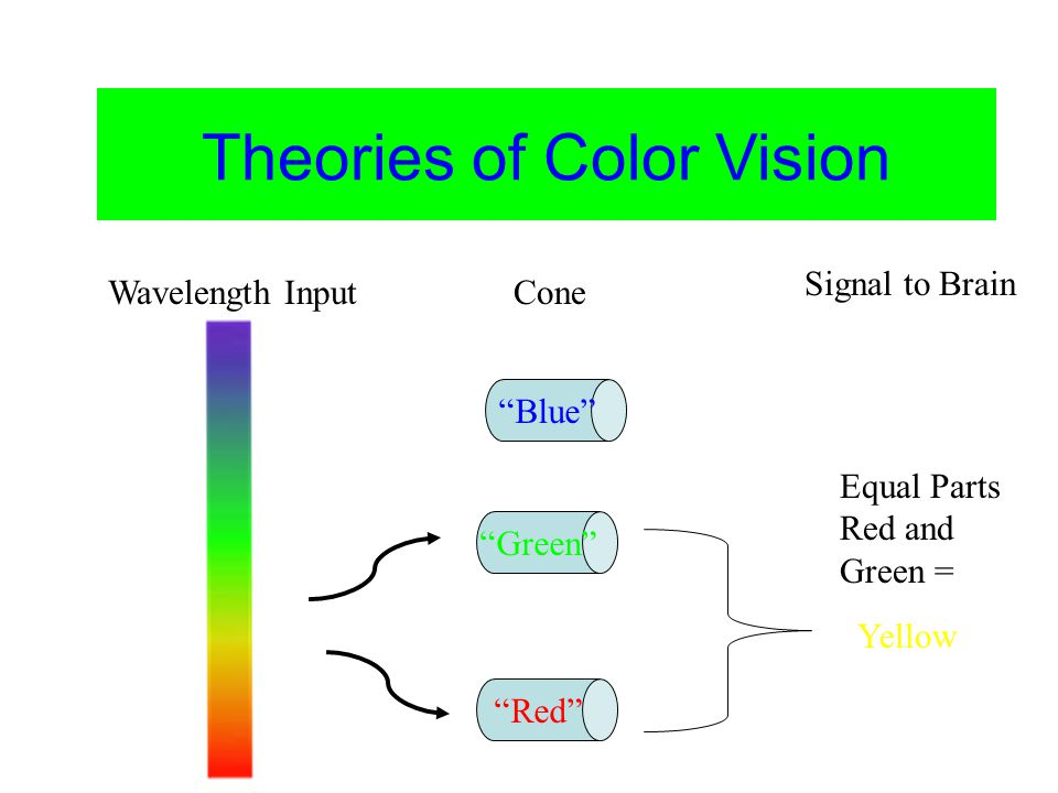 Color Vision Theories of Color Vision Blue Green Red Yellow Equal Parts Red and Green = Wavelength InputCone Signal to Brain