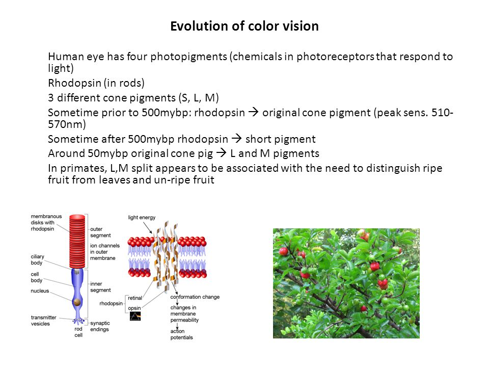 Evolution of color vision Human eye has four photopigments (chemicals in photoreceptors that respond to light) Rhodopsin (in rods) 3 different cone pi