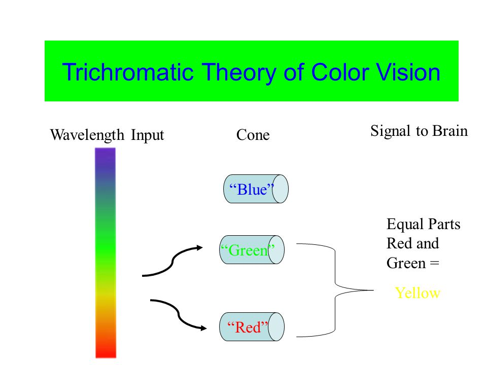 Color Vision Trichromatic Theory of Color Vision Blue Green Red Yellow Equal Parts Red and Green = Wavelength InputCone Signal to Brain