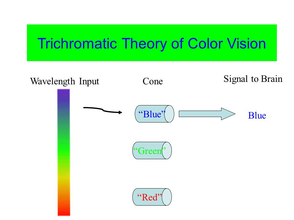 Color Vision Trichromatic Theory of Color Vision Blue Green Red Green Wavelength InputCone Signal to Brain